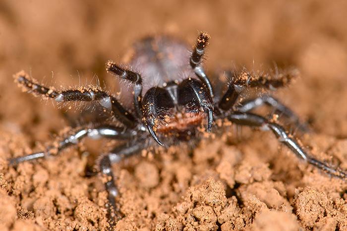 El estudio internacional reveló que en Argentina hay parientes cercanos de esas temidas especies, aunque sus toxinas son mucho menos peligrosas.